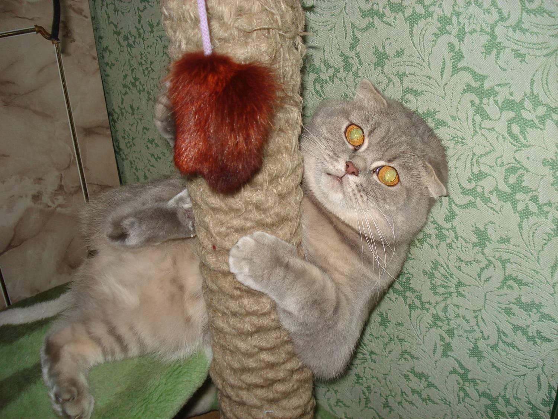 С кем вяжут вислоухую кошку